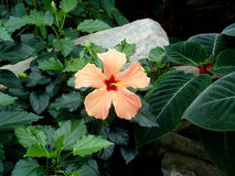 Hibiscus alaranjado fotografia de stock royalty free