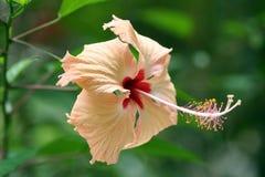 Hibiscus alaranjado pálido Fotos de Stock Royalty Free