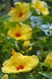 Hibiscus amarelo Fotografia de Stock