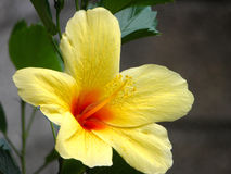 Hibiscus amarelo Imagem de Stock Royalty Free