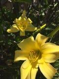 Hibiscus amarelo fotos de stock