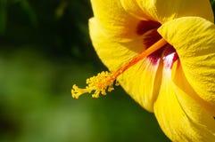 Hibiscus amarelo bonito na luz do dia Imagens de Stock Royalty Free
