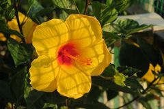 Hibiscus amarelo bonito no jardim fotos de stock