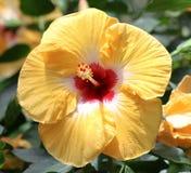 Hibiscus amarelo brilhante Fotos de Stock Royalty Free