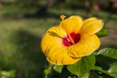 Hibiscus amarelo da flor foto de stock