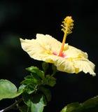 Hibiscus amarelo nas sombras perto do parque estadual do rio de Wailuku Imagem de Stock Royalty Free