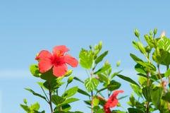 Hibiscus arnottianus Stock Image
