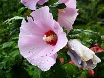 Hibiscus arnottianus with drops Stock Photo