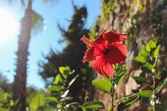 Hibiscus auf dem Hintergrund von Bäumen Stockfotografie