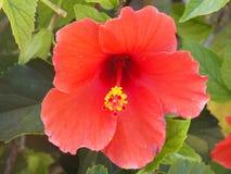 hibiscus Avermelhado-alaranjado na flor foto de stock royalty free