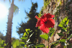 Hibiscus on the background of trees Stock Photography