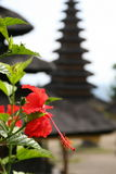 Hibiscus. Bali, Indonesia, Flower of hibiskus against a background of temple Royalty Free Stock Images