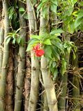 Hibiscus and bamboo. Hibiscus flower and bamboo trunks Royalty Free Stock Image
