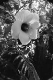 Hibiscus Bloom Black & White. Black and white photograph of a hibiscus bloom stock photos