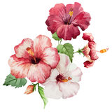 Hibiscus2. Beautiful vector red and rose flowers on white fon Stock Images