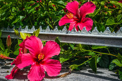 Hibiscus in Bermuda Royalty Free Stock Photography