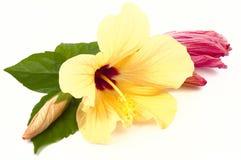 Hibiscus blüht Nahaufnahme Stockbilder