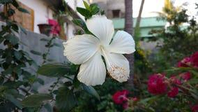 Hibiscus blüht, weißer Hibiscus, rosafarbene Malve Lizenzfreie Stockfotografie