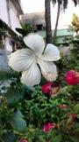 Hibiscus blüht, weißer Hibiscus, rosafarbene Malve Lizenzfreies Stockfoto