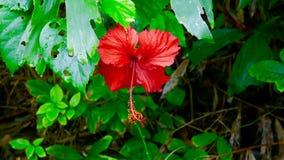 Hibiscus-Blüte stockfoto