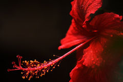 Hibiscus on black background. Stock Photos