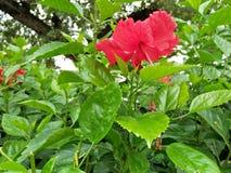 Hibiscus bloeiende installaties royalty-vrije stock afbeeldingen