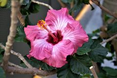 Hibiscus in bloom Royalty Free Stock Image