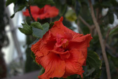 Hibiscus in bloom Royalty Free Stock Images
