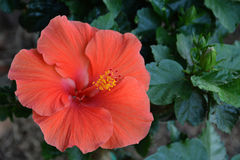 Hibiscus bloom. Flower on a hibiscus fully opened Stock Photos
