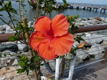 Hibiscus in bloom. Flowers at the Lewes Ferry port, Delaware, USA Stock Image