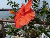 Hibiscus in bloom. Flowers at the Lewes Ferry port, Delaware, USA Royalty Free Stock Photos