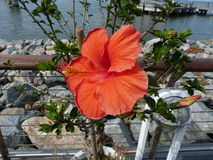 Hibiscus in bloom. Flowers at the Lewes Ferry port, Delaware, USA Royalty Free Stock Photography
