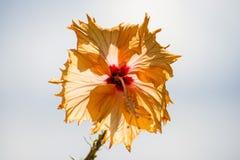Hibiscus bloom Stock Photography