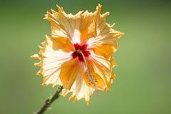 Hibiscus bloom Stock Photo