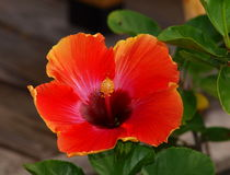 Hibiscus Bloom Royalty Free Stock Image