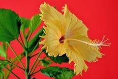 Hibiscus bloom Stock Images