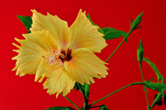 Hibiscus bloom Royalty Free Stock Images