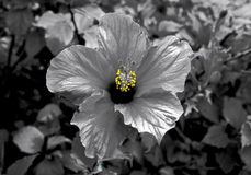 Hibiscus bloom selective color. Black and white photo of a hibiscus blossom with selective color on the pollen Stock Photos