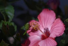 Hibiscus Bloom & Stamen. Early morning shot of a hibiscus bloom Royalty Free Stock Photo