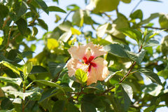 Hibiscus blossom Royalty Free Stock Photography