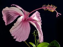Hibiscus, Blossom, Bloom, Flower Stock Images