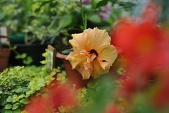 Hibiscus blossom. Close up photography of the hibiscus blossom in the greenhouse Royalty Free Stock Photography