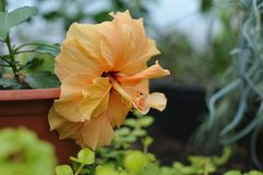 Hibiscus blossom. Close up photography of the hibiscus blossom in the greenhouse Stock Photos