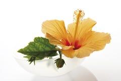 Hibiscus blossom (Hibiscus) Stock Photo
