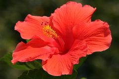 Hibiscus blossom (Rose of Sharon). Deep red Hibiscus blossom on dark green background Stock Photography