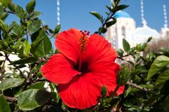 Hibiscus and blue domed church in Oia, Santorini Royalty Free Stock Images
