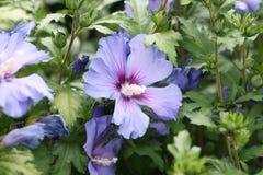 Hibiscus Royalty Free Stock Image