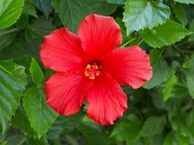 Hibiscus-Blume stockfotografie