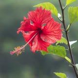 Hibiscus-Blume Stockfotos
