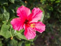 Hibiscus-Blume oder Chinese Rose, Schuh-Blume Lizenzfreie Stockfotografie